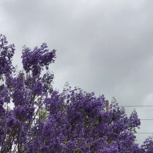 世界三大花の木 紫雲…