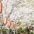 佐倉で桜をみるなら?…