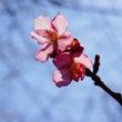 『フフの桜 開花情報…