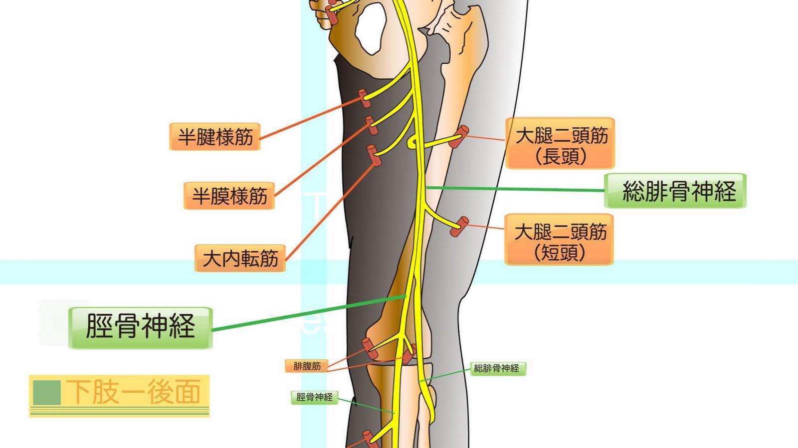 骨格の歪みと筋肉の関連性13