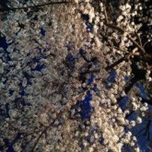 やっぱり桜大好き♪