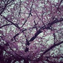 桜が咲いたァ!!!気…