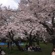 桜 in 嵐山