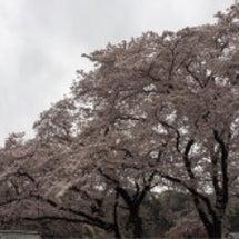 上大島の桜