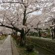 雨と桜in京都