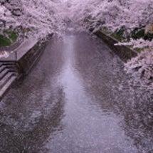 桜が散るのは風や雨の…