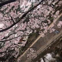 夙川でお花見♡