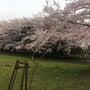 桜も満開です!