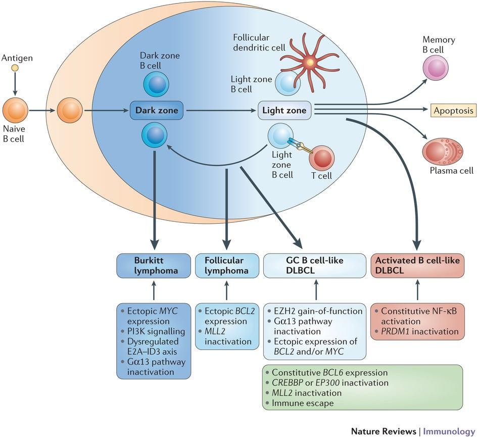 大 b 型 性 リンパ腫 びまん 細胞 細胞