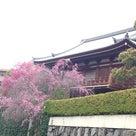 総持寺の枝垂れ桜とボリジの蕾の記事より