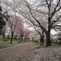 なごり桜。。。(久喜…