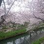 桜、さくら、サクラ