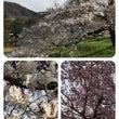 やっとひと息ついて桜…