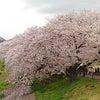 桜散歩~背割り堤の画像