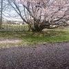 春なのに~~~(///ω///)♪の画像