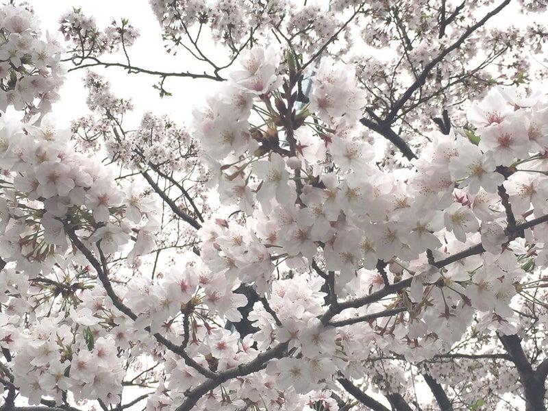 桜17アップ