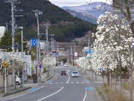 白石市 常林寺の桜 | 蘭と樹理と...