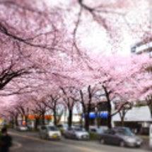 今日の桜。ヒヨドリが…