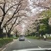 桜のトンネルの画像