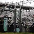 雨で桜が散っちゃう・…