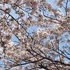 桜が満開になってきましたねの画像