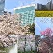 お花見日和の桜アフタ…