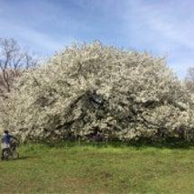 小金井公園の大島桜