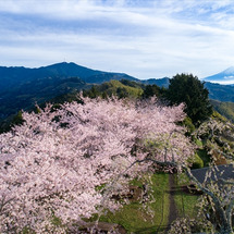 【空撮】 絶景! 桜…