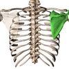 肩甲骨を気にしたことはありますか?の画像