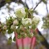 造幣局の桜と穴場中華ランチの画像