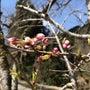 大平山荘周辺桜情報!…