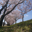 駆け込み桜