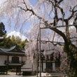心源院の枝垂れ桜