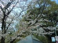 宝来公園の桜2