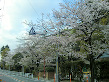 宝来公園の桜1