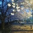 近所の桜スポット!