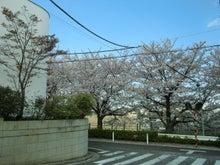 田園調布線路脇の桜1
