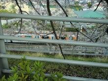 田園調布線路脇の桜2