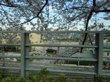 田園調布線路脇の桜3