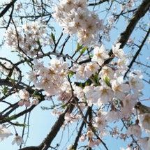 【やっと桜が咲きまし…