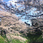 都内、桜がキレイでの…