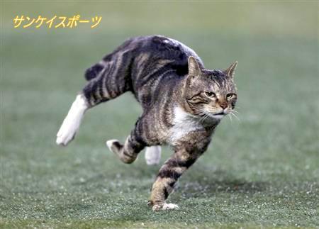 全速力でダッシュしながらも、左右に華麗なステップを踏みながら走り回るハマ猫。その雄姿をス