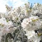 2017年春桜!浜松フラワーパークにての記事より
