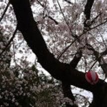 2017年・桜の開花…
