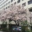 くまっち街中の桜を眺…