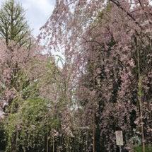 桜前線北上中♡