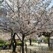 桜が見頃で