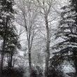 本日春の大雪&白樺樹…