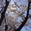 *病院の桜*