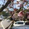 桜の名所で最後の桜を観てきました!の画像